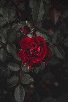 Truyện Bông hoa màu đỏ nở rộ trong bóng đêm